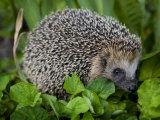 Hedgehog Among Leafy Greens Fotografisk tryk af Mattias Klum