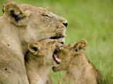 Lion (Pathera Leo)With Cubs Photographic Print by Beverly Joubert