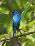 Indigo Bunting, Passerina Cyanea, Perched on a Cherry Tree Fotografisk tryk af George Grall