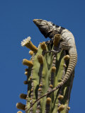 Spiny-Tailed Iguana Among Cardon Cactus Blossoms Photographic Print by Ralph Lee Hopkins