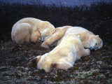 Three Polar Bears Sleeping Photographic Print by Nick Norman