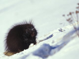 Porcupine in the Snow Photographic Print by Nick Norman