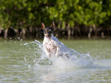 Active Rat Terrier Dog Splashing and Jumping Through the Water Photographic Print by Karine Aigner