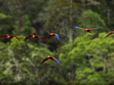 Flock of Scarlet Macaws in Flight Photographic Print by Mattias Klum