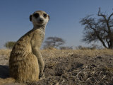 Meerkat (Suricatta Suricatta) Sitting Up Photographic Print by Michael Polzia