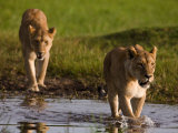 Two Female African Lionesss Walking Through Water Photographic Print by Beverly Joubert