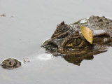 Spectacled Caiman with Head Just Above the Water's Surface Photographic Print by Roy Toft