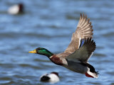 Male Mallard Duck, Anas Platyrhyncho, in Flight over Water Photographic Print by George Grall
