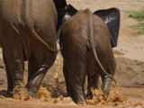 Elephants at a River Crossing in Samburu National Park Photographic Print by Michael Nichols