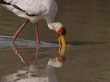 Yellow-Billed Stork Hunting for Food in Water Photographic Print by Beverly Joubert