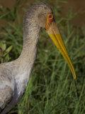 Yellow-Billed Stork in Samburu National Park Photographic Print by Michael Nichols