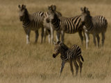 Group of Burchell's Zebras Watch a Young Zebra Photographic Print by Beverly Joubert