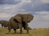 African Elephant in Aggressive Defensive Posture. Another Eating Photographic Print by Beverly Joubert
