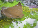 Cow-Nosed Stingray Swimming at the Water's Surface in an Exhibit Photographic Print by Mike Theiss
