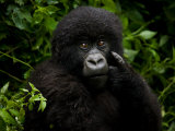 Portrait of a Juvenile Mountain Gorilla Photographic Print by Beverly Joubert