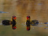 Two American Coot Birds Photographic Print by Nick Norman