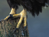 American Bald Eagle Talons Photographic Print by Nick Norman