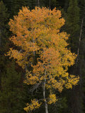 Aspen Trees in Autumn Hues Among Evergreens Photographic Print by William Allen