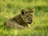 Lion Cub(Pathera Leo) Photographic Print by Beverly Joubert