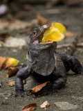 Spiny-Tailed Iguana Eating Yellow Flower Photographic Print by Roy Toft