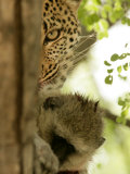 Leopard (Panthera Pardus) with Kill Photographic Print by Beverly Joubert