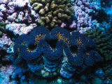 Giant Clam Amid Colorful Coral Photographic Print by Nick Norman