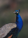Indian Blue Peacock Photographic Print by Nick Norman