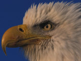 Bald Eagle Portrait Photographic Print by Nick Norman