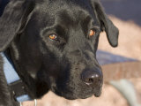 Portrait of a Black Lab at Goosenecks State Park, Utah Photographic Print by Scott Warren