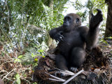 Young Gorilla in a Nest Photographic Print by Michael Polzia