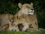 Lioness and Two Cubs Resting in the Shade Photographic Print by Beverly Joubert