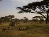 African Lions Walk Through a Plain While a Safari Vehicle Looks On Photographic Print by Ralph Lee Hopkins