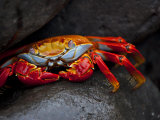 Sally Lightfoot Crab on a Rock in the Galapagos Islands Photographic Print by Michael Melford