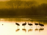 Sandhill Cranes at the Bosque Del Apache National Wildlife Refuge Photographic Print by Scott Warren