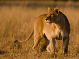 Alert African Lioness, Panthera Leo, Surveying Her Domain Photographic Print by Beverly Joubert