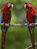 Pair of Scarlet Macaws Perched on a Tree Limb Fotografisk tryk af Mattias Klum