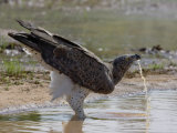 Adult Martial Eagle Drinking at a River's Edge Photographic Print by Michael Nichols