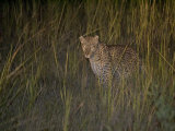 Leopard with Eye Shine in Tall Grass at Night Photographic Print by Roy Toft
