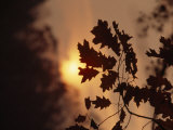 Silhouetted Oak Leaves at Sunset Photographic Print by Raymond Gehman
