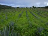 Agave Plantation Fotografisk tryk af Raul Touzon