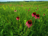 Field of Purple Coneflowers Fotodruck von Annie Griffiths Belt