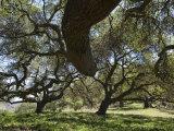 Coast Live Oak (Quercus Agrifolia) Trees on Sulphur Mountain Road Photographic Print by Rich Reid