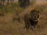 Male African Lion, Panthera Leo, Walking Through Grasslands Photographic Print by Beverly Joubert