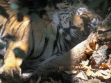 Sleeping Tiger in Kanha National Park, India Photographic Print by Scott Warren