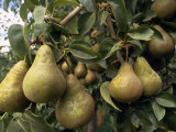 Pears Hang from a Pear Tree Photographic Print by Michael Melford