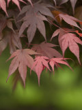 Japanese Maple Tree Leaves Reproduction photographique par Greg Dale