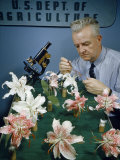 Scientist Collects Pollen from Crossbred Lilies Photographic Print by David Boyer