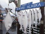 350 Pound Halibut (Pleuronectidae) in Seward, Alaska Photographic Print by Rich Reid
