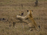 Sub Adult African Lions Fighting Photographic Print by Beverly Joubert