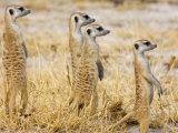 Group of Standing Meerkats, Suricata Suricatta Photographic Print by Karine Aigner